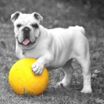A bulldog with a yellow ball. Dogs can see some colors such as yellows, blues, and purples.