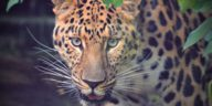 Javan Leopard in Indonesia